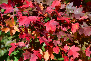 pevach corp alberta - red maple